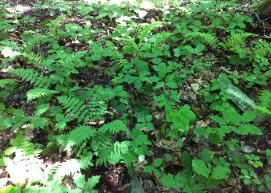 It is so important to look down at your forest floor. What is growing? Does it look like this?