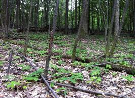 If competing plants are removed, native hardwood seedlings can thrive.