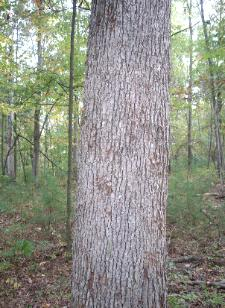 Appalachian Forest Consultants picture of bear scratched white oak. We share our woods with many a critter.